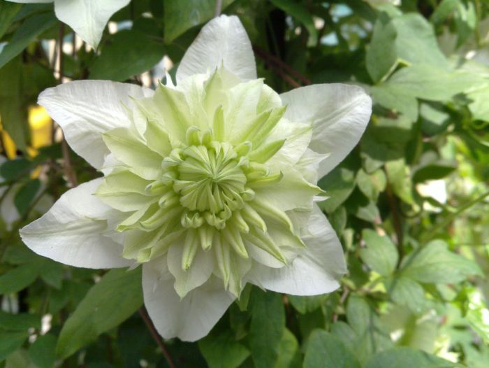 Clematis Plena close up