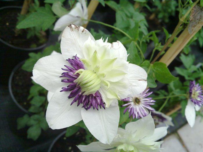50/50 split bloom