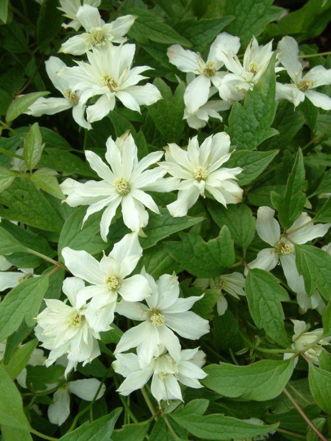 clematis montana pleniflora mass shot