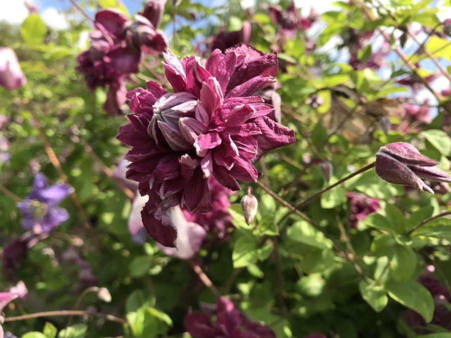 Clematis viticella Purpurea Plena Elegans nice close up