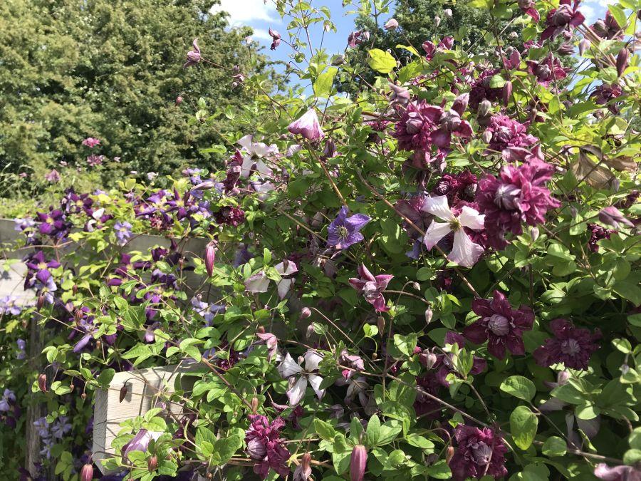 Clematis viticella Purpurea Plena Elegans on our arch in our garden