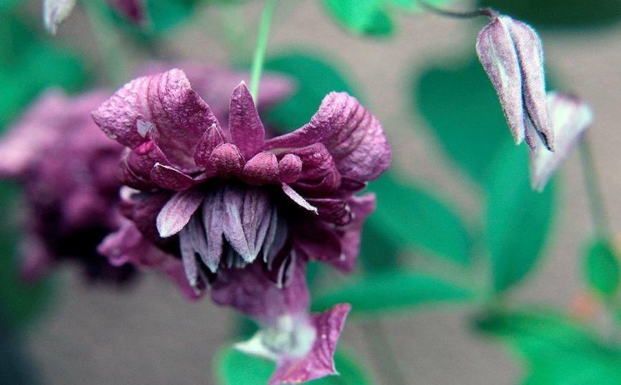 Clematis Purpurea Plena Elegans nodding