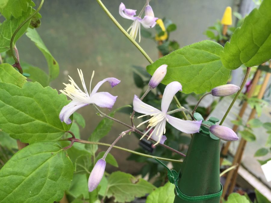 Clematis jouiana Praecox fully open flowers