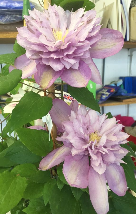 Clematis Proteus double form nice pair