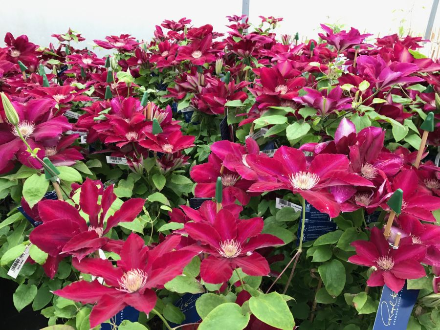 Clematis Rebecca all together growing here on the nursery