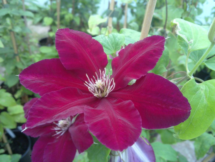 Clematis Rebecca nearly fully open