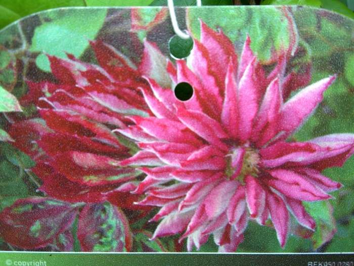 Clematis Red Star Fully Double