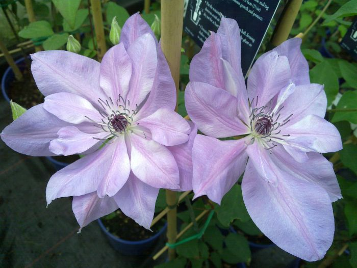 Clematis Reflections in semi-double form