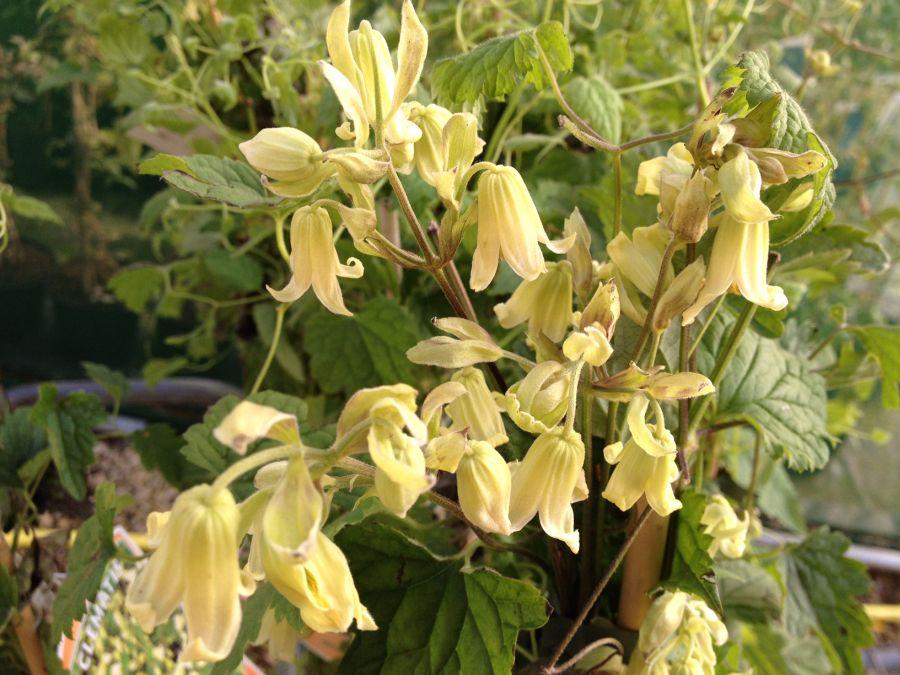 Clematis rhederiana nice nodding flowers