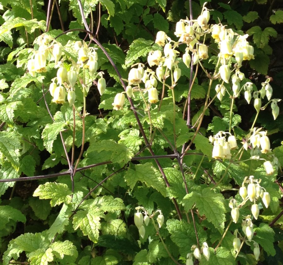 Clematis rhederiana looks like cowslip