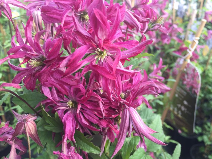 Clematis Viticella Rosalyn great double heads