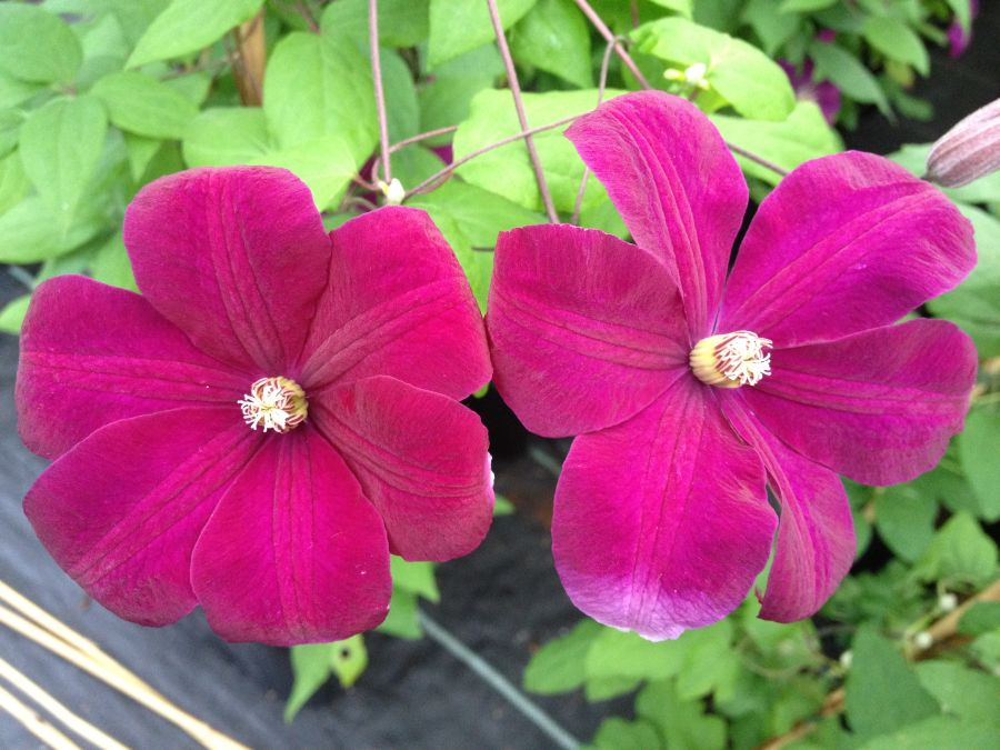 clematis rouge cardinal mature hardy 2 year old plants. Black Bedroom Furniture Sets. Home Design Ideas