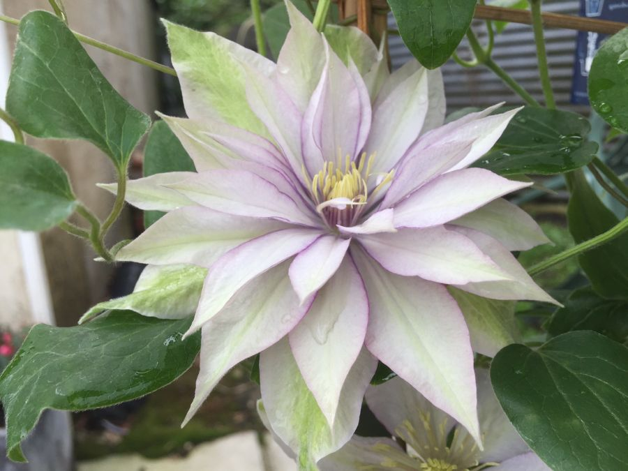 Clematis Samaritan Jo in double form