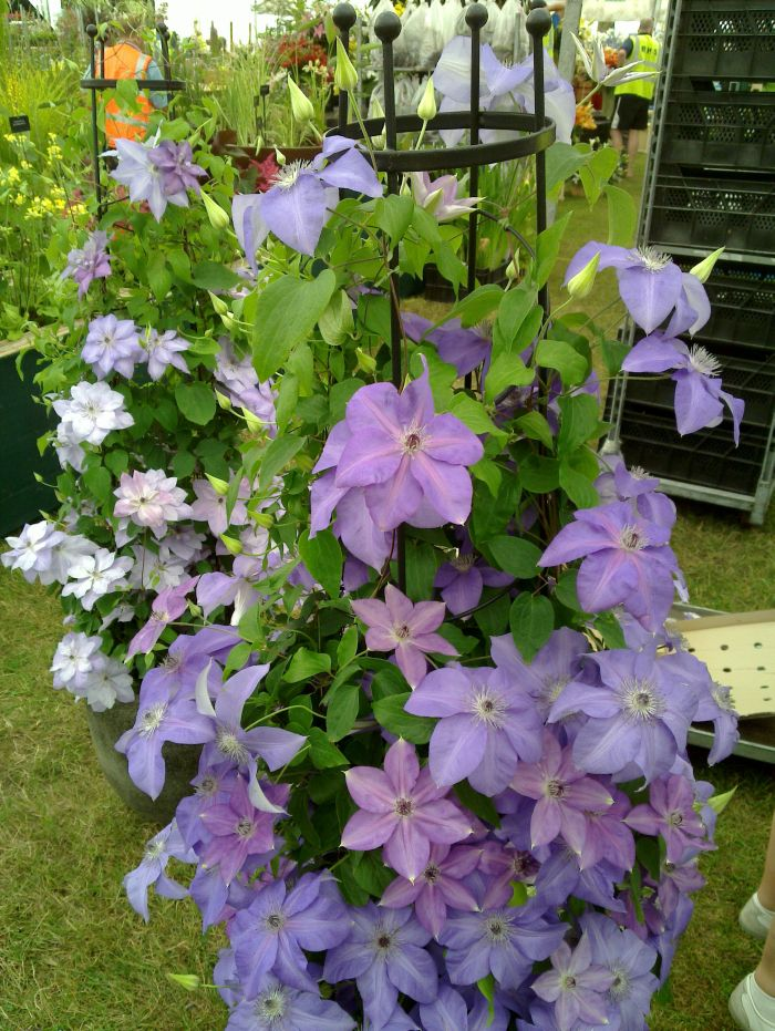 Can i grow clematis in a pot 28 images how to grow for Interieur gov dz s12