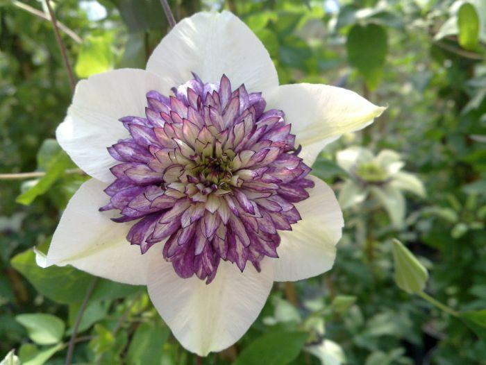 Clematis florida Sieboldii stage 5