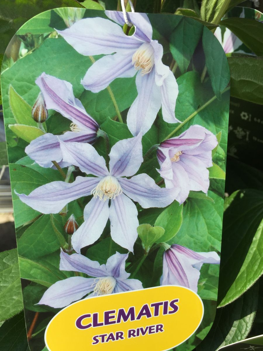 Clematis star river label