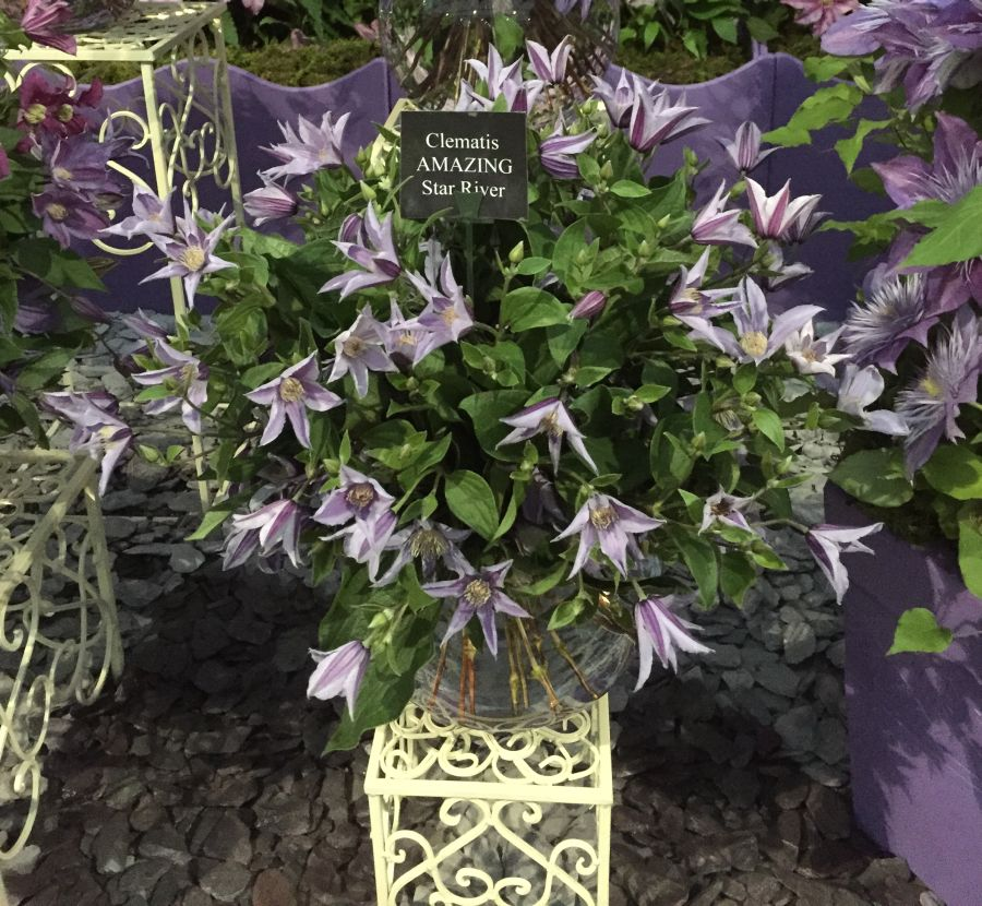 Clematis star river used as cut flower