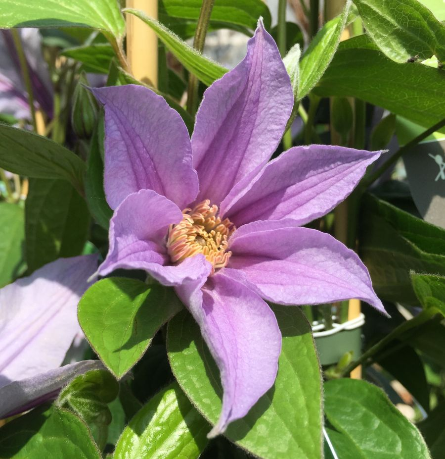 Clematis star river just opening