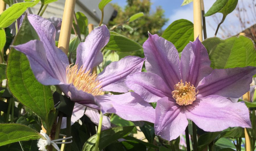 Clematis star river nice pair