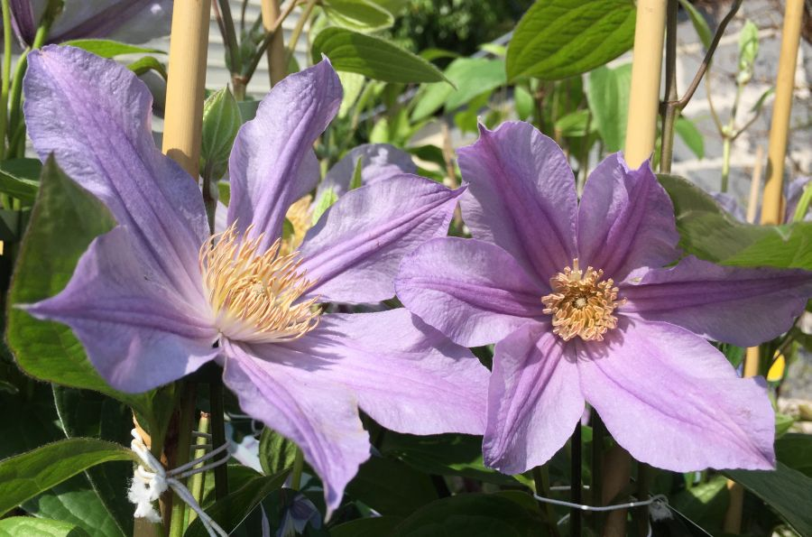Clematis star river