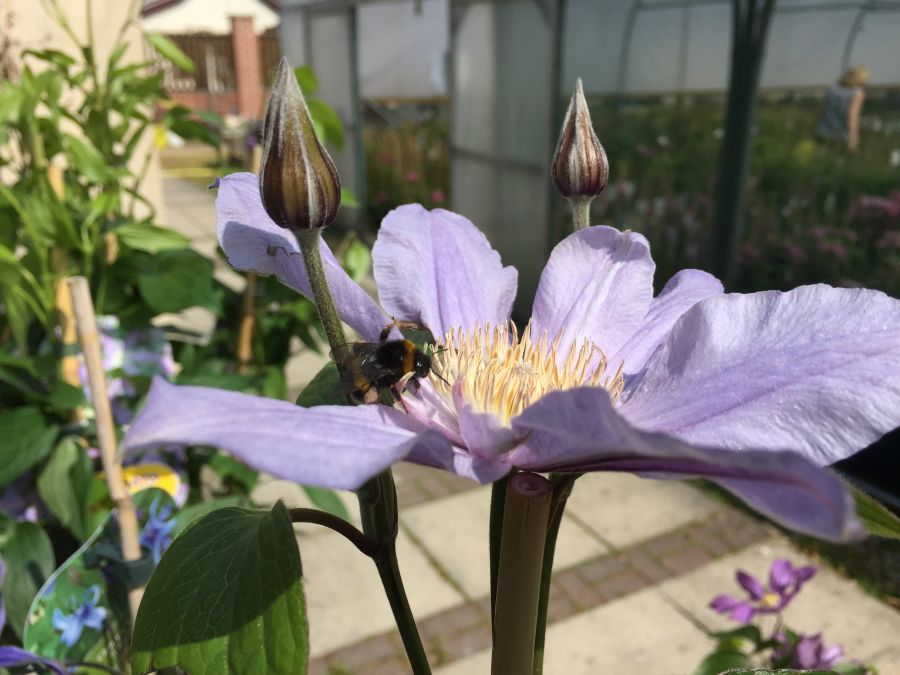 Clematis star river attracts bees