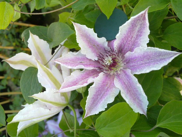 clematis starlight close up pair