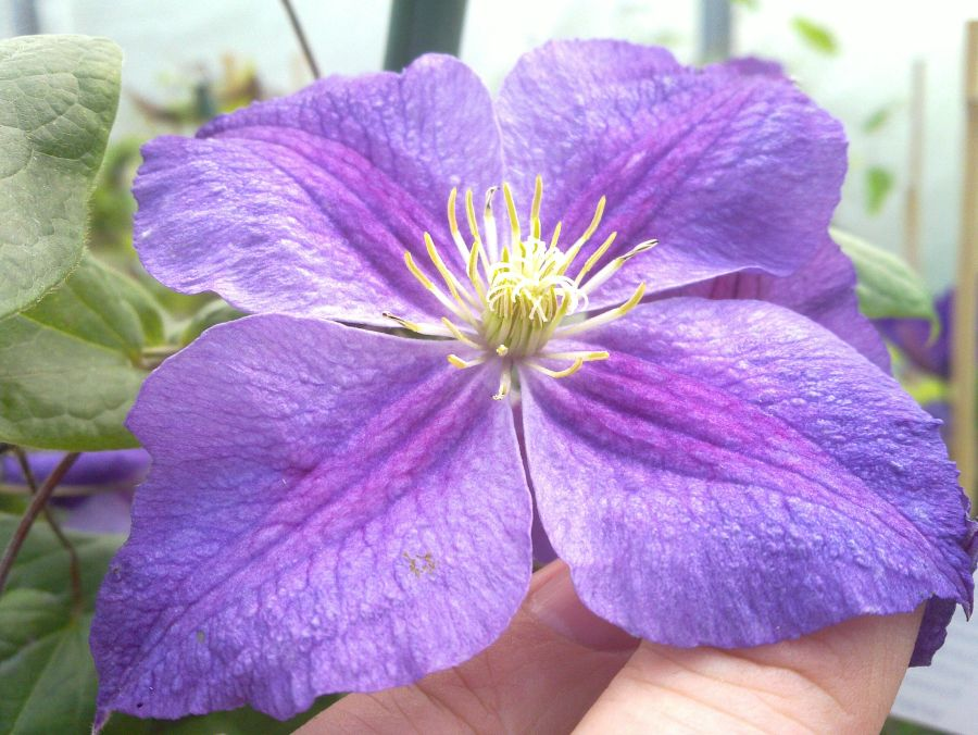 Clematis Star of India having seen alot of sun