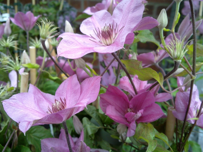 Clematis Summer Dream Very Free Flowering