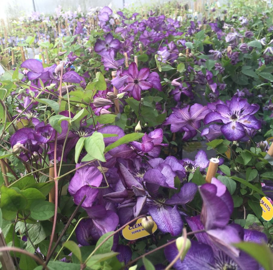 Clematis Super Nova mass shot