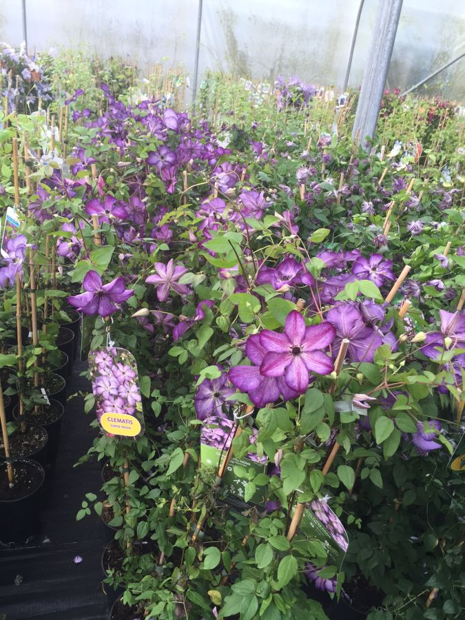 Clematis Super Nova sales plants ready to go (september time)
