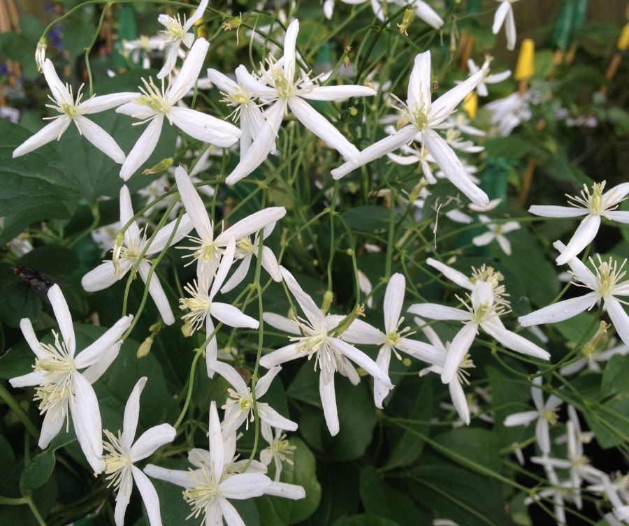 Clematis Sweet sensation masses of flower