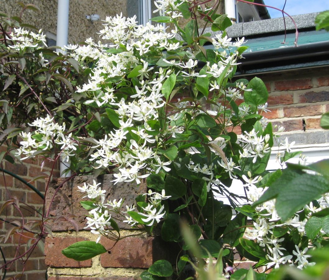 Clematis Sweet sensation from Mike Jennings