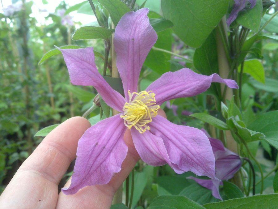 Clematis Sweetheart fully open