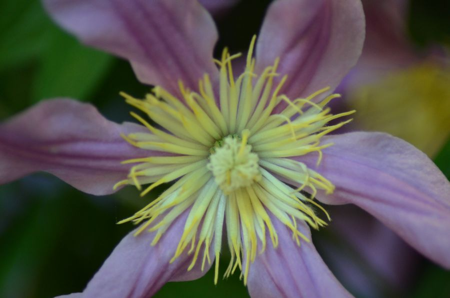 Clematis Sweetheart close up