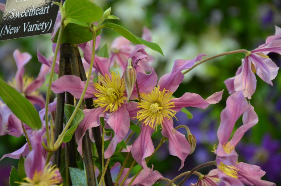Clematis Sweetheart