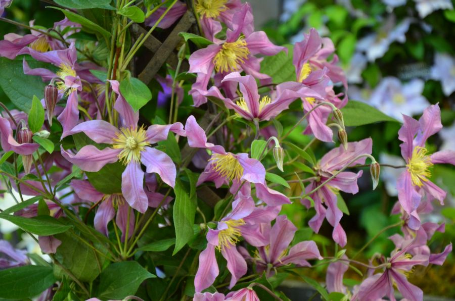 Clematis Sweetheart group pic