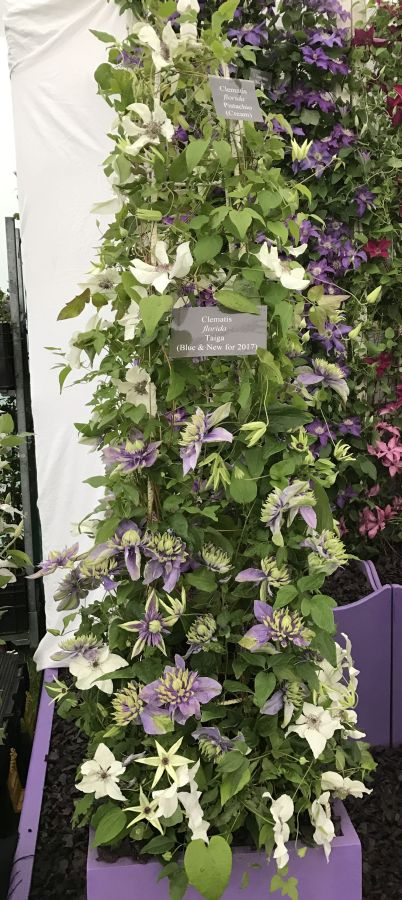 Clematis Taiga in a pot on an obelisk