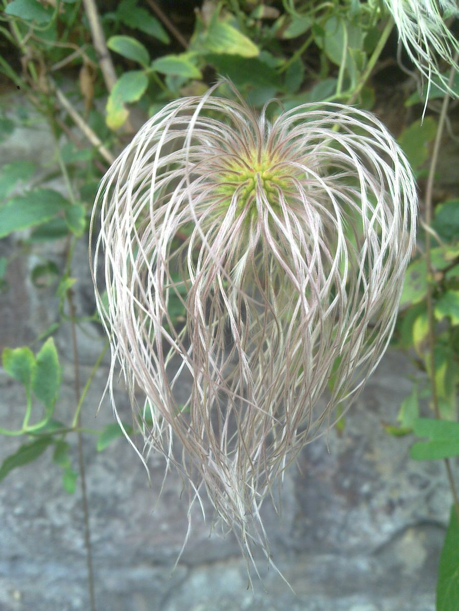 Clematis tangutica  has huge seed heads