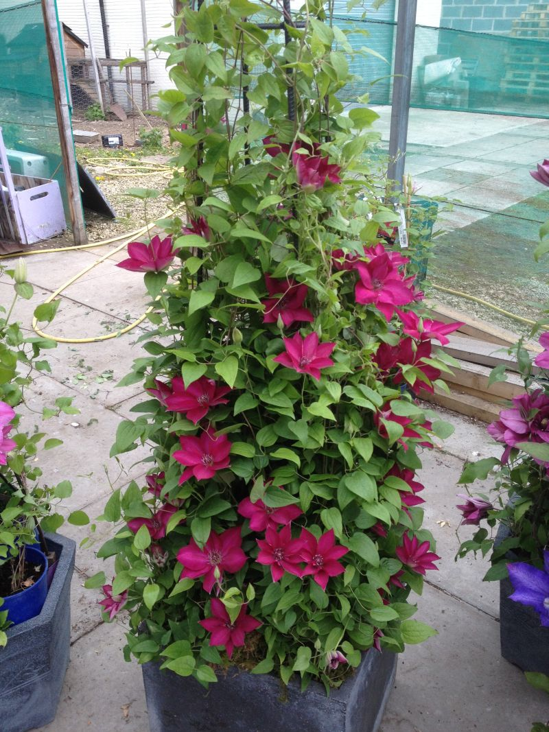 Clematis Tekla in a large pot with obelisk