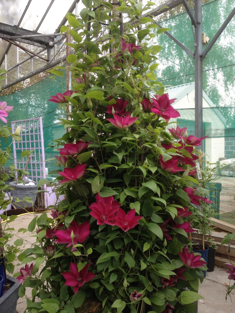 Clematis Tekla masses of flowers all summer