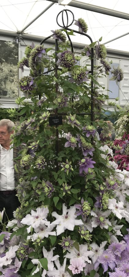 Clematis Taiga on display at Cheslea 2017 pic1