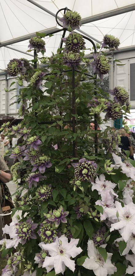 Clematis Taiga on display at Cheslea 2017   pic3