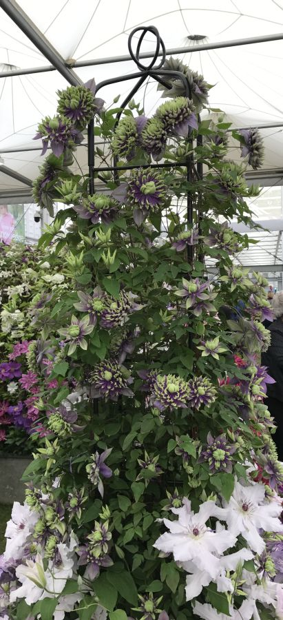 Clematis Taiga on display at Cheslea 2017  pic4