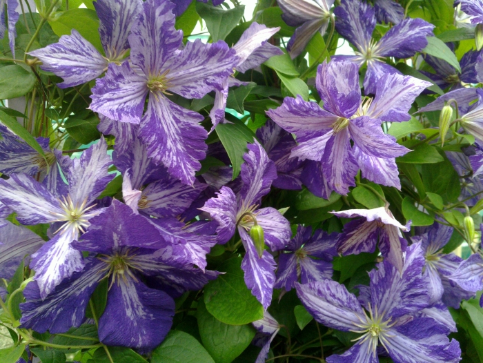 Clematis Tie Dye flowering in abundance