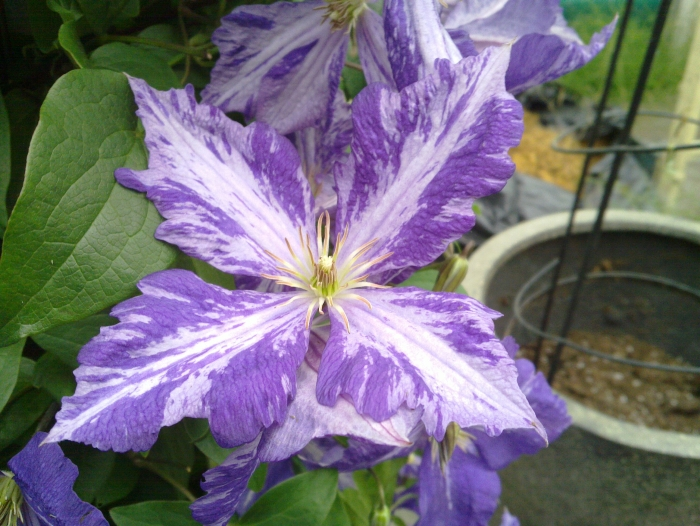 Clematis Tie Dye fantastic colouring