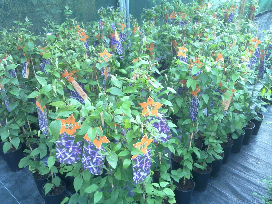 Clematis Tie Dye the sales plants