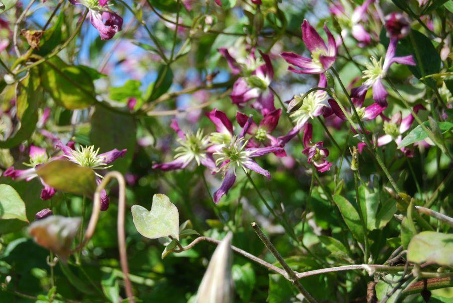 Clematis Triternata Rubromarginata in a garden situation