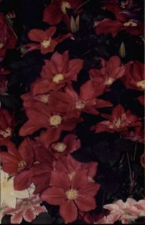 Clematis Vino very old pic 2