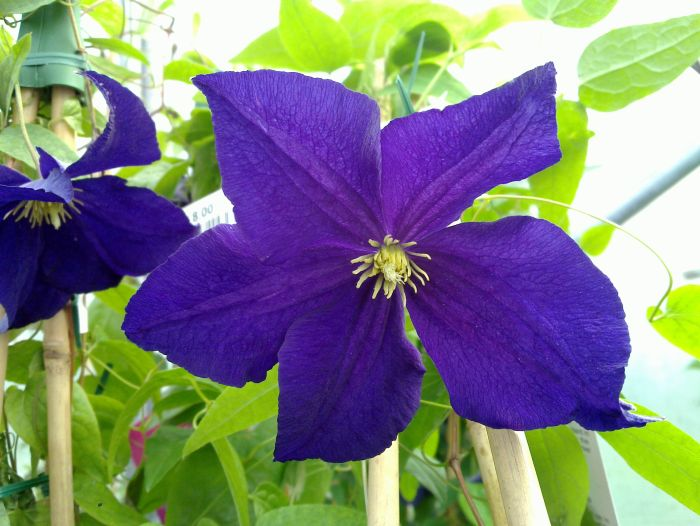 Clematis Viola close up shot