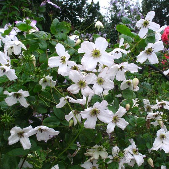 viticella Kathryn Chapman nice white flowers